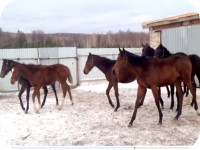 Продажа лошадей